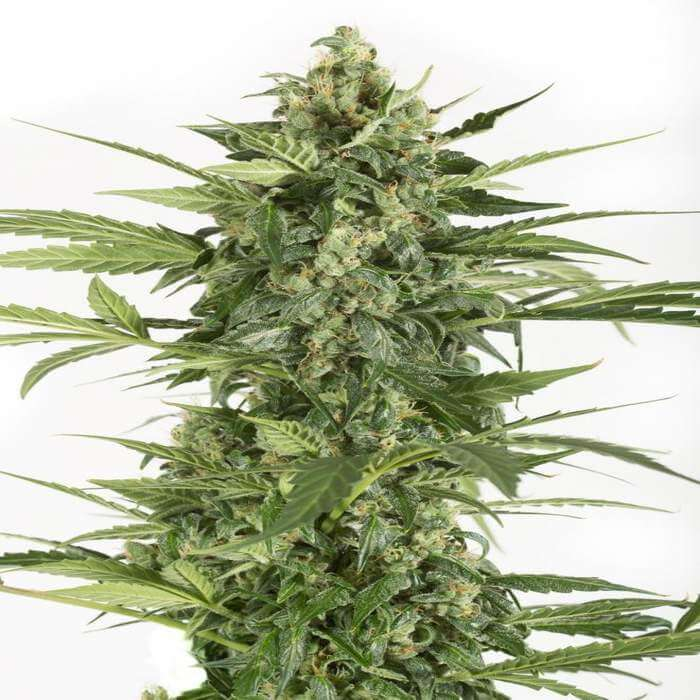 Blue Cheese Autoflowering Seeds