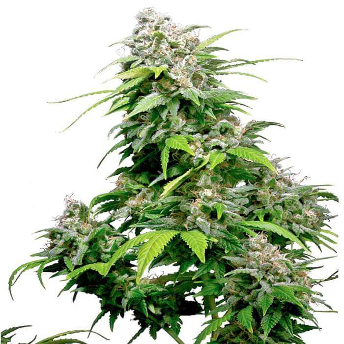 California Indica Regular Seeds