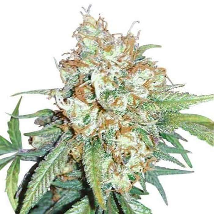 Cherry Pie Kush Feminized Seeds