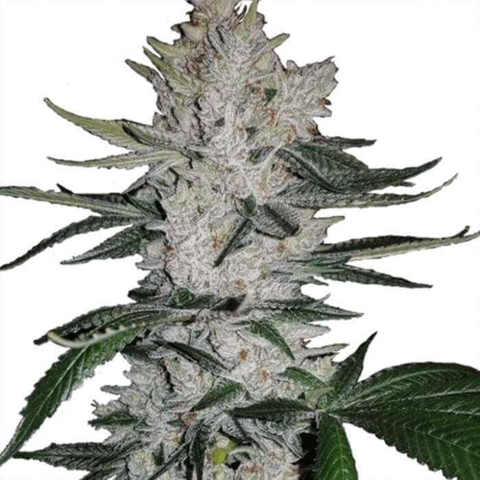 Gorilla Glue Feminized Seeds